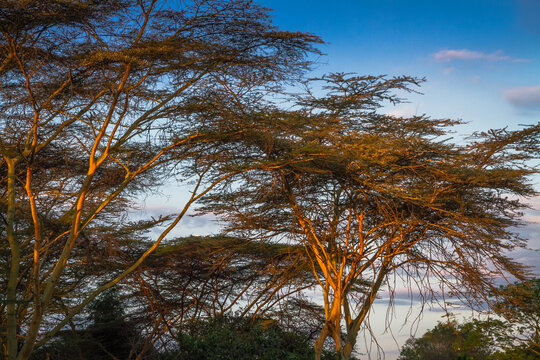 Acacia trees in the light of sunset in Nairobi