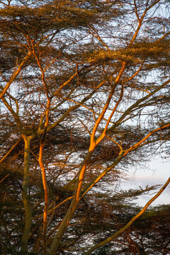 Acacia tree in sunset close up