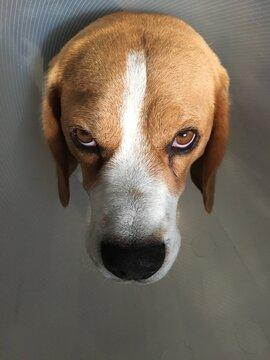 Beagle Scotty not amused