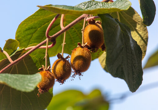 Kiwi fruits grow on a plant