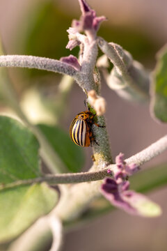 Colorado potato beetle on an eggplant plant.