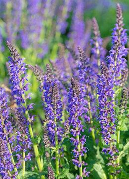 Violett blühender Blütensalbei, Salvia nemorosa, im Garten