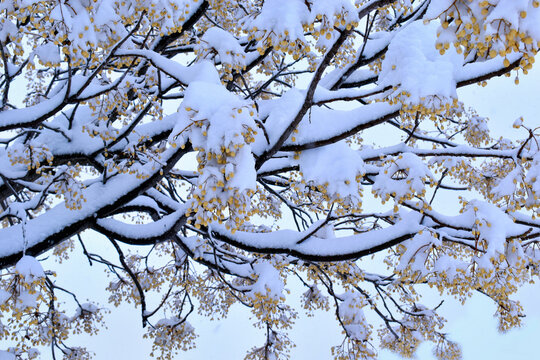 Philomena storm in Madrid. Branches of trees covered with snow in the unusual and great snowfall of the City of Madrid, during the passage of the snow storm Filomena in Spain