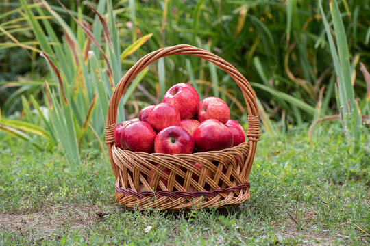 Basket with red apples stands on the ground in the garden