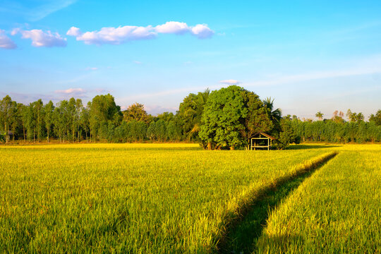 Rice Field in Thailand's Countryside