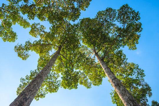 High Yang Na Trees on Blue Sky