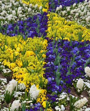 Narzissen und blaue Hornveilchen in Blumenbeet / Rabatte bilden Rautenmuster in gelb-blau