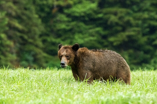 Cute Khutzeymateen Grizzly Bear eating green grass in a field, Northern BC, Canada