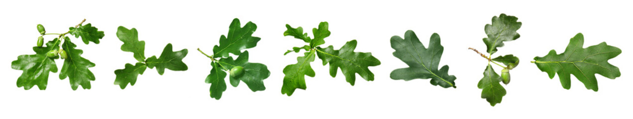 Obraz Green oak leaves on white background - fototapety do salonu