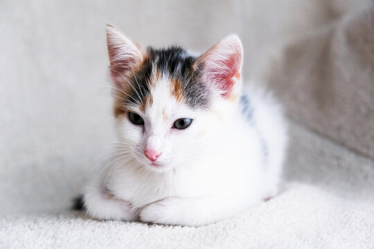 Portrait of a cute, adorable tricolor kitten on a light armchair or bed. Taking care and taking care of pets. Copy space