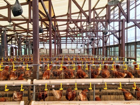 Chicken farm containing hundreds of laying hens. The eggs can be harvested every day for sale.