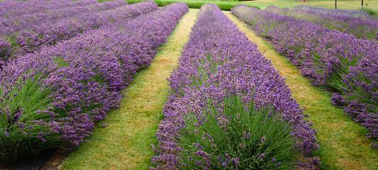 Rows of purple lavender flowers in the field