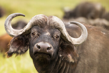 Buffalo in the grass during safari in Serengeti National Park in Tanzani. Wilde nature of Africa.