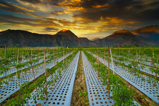 Vegetable crop growing at the foothills of Mt Rinjani, Lombok, Indonesia