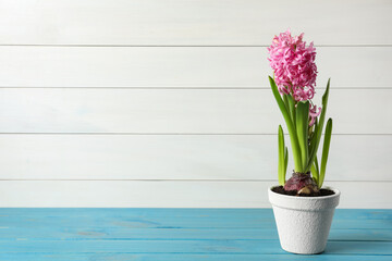 Obraz Beautiful potted hyacinth flower on light blue wooden table. Space for text - fototapety do salonu