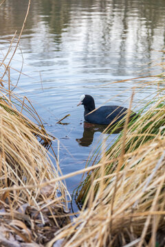 Foulque macroule aux étangs