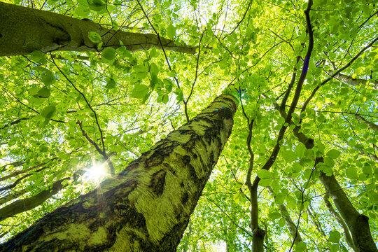 Grüne Baumkronen einer Birke mit Sonne