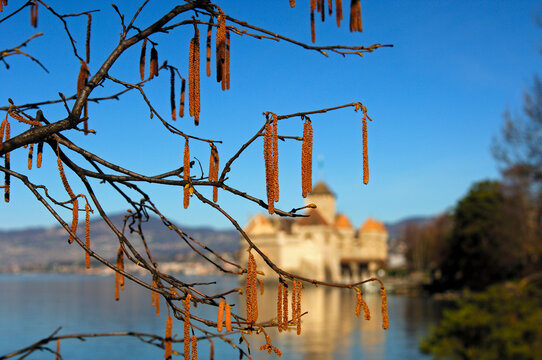 Branches With Blossoming Haselnut Flowers In Springtime At The Château De Chillon, Lake Geneva, Switzerland