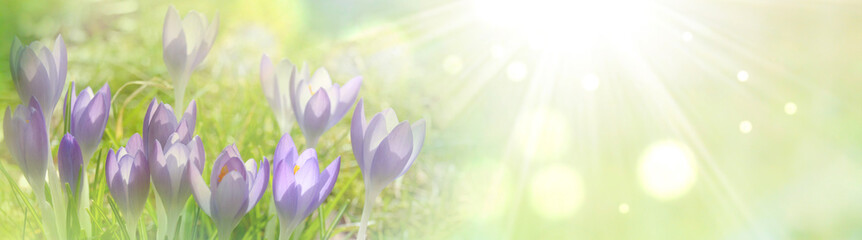 Spring background with purple crocuses in the sunlight. Natural banner with copy space