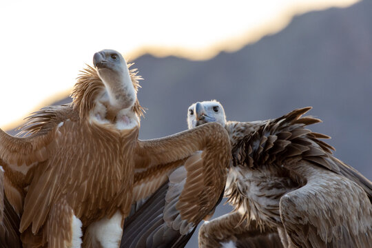 A close up of a large lappet-faced vulture or Nubian vulture (Torgos tracheliotos) and a Griffon Vulture (Gyps fulvus) perched.