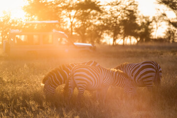 African zebras at beautiful landscape during sunrise safari in the Serengeti National Park. Tanzania. Wild nature of Africa..