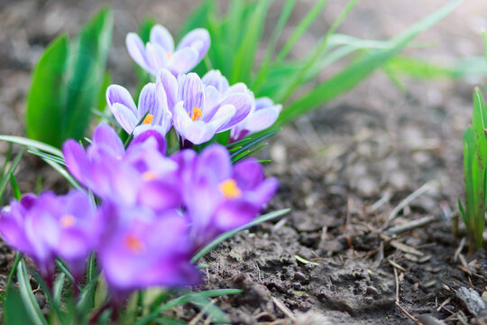 Easter background with flowering crocus isolated on blur .