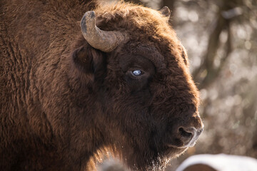 Fototapeta Bisons in forest during winter time with snow. Wilde life