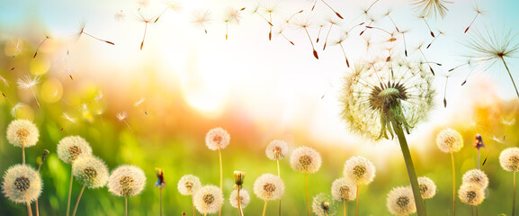 Fototapeta Dandelions With Flying Seeds In Defocused Field  - Freedom And Allergy Concept
