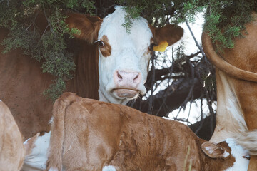 Wall Mural - Hereford herd in shade of juniper plant during summer, cows and calves.