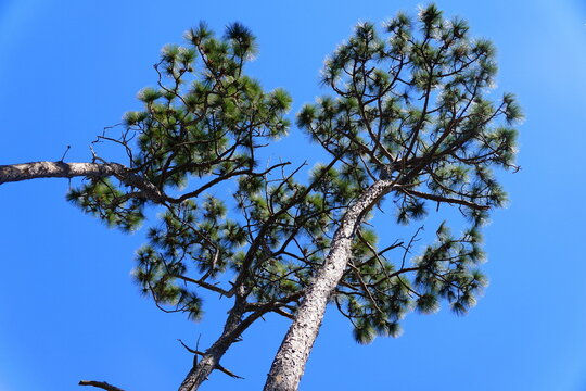 Slashed pine trees with the background of the blue sky in Largo, Florida, U.S