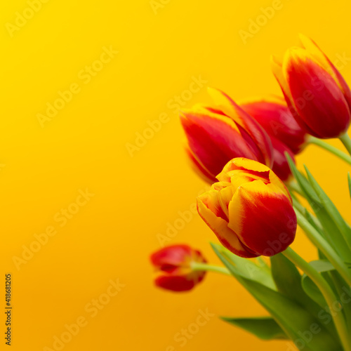 Bouquet of yellow - red tulips on a yellow background with copy space. Mother's day, womens day greeting card.
