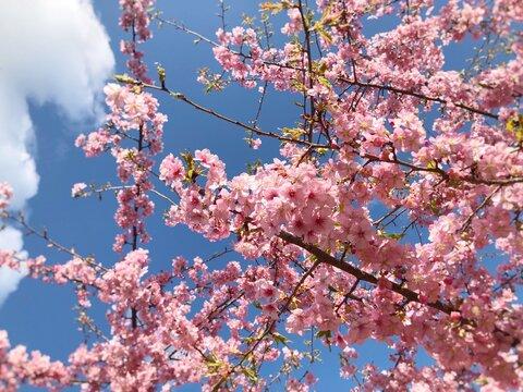 桜と青空 満開の河津桜