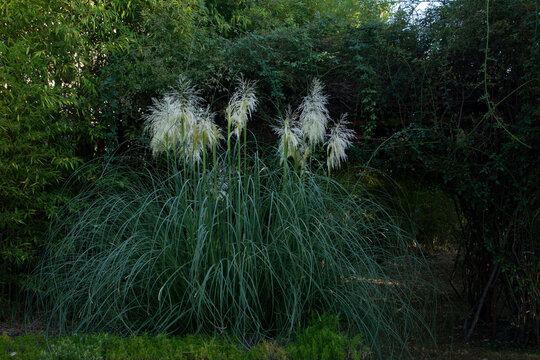 a huge bush of cortaderia or pampas grass adorns the park