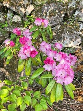 石楠花(シャクナゲ)濃いピンク