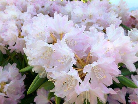 石楠花(シャクナゲ)やわらかな淡いピンク
