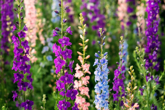 Delphinium elatum close up background. Multicolored Larkspur flowers. Delphinium putple, blue, pink flowers grows in the garden.
