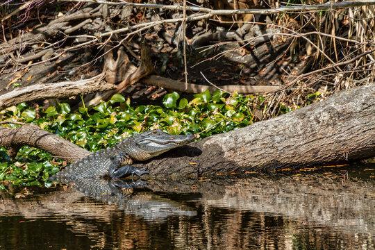 Alligator sunning on a log at Morris Bridge Park near Tampa, Florida.