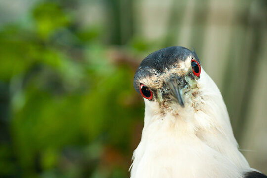I think this Black-Crested Night Heron was as curious about me as I was it.