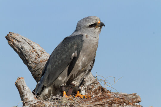 Profile of a Mississippi Kite