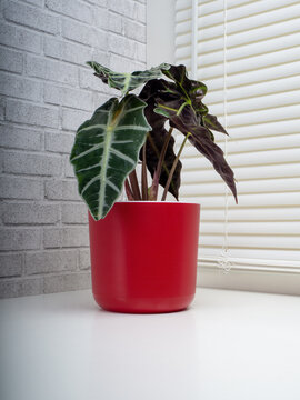 Alocasia Sanderiana, commonly known as the kris plant