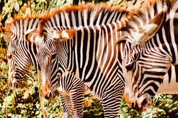 Image of a beautiful  zebras