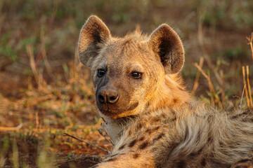 Spotted hyena (Crocuta crocuta) portrait of a cub in warm afternoon light