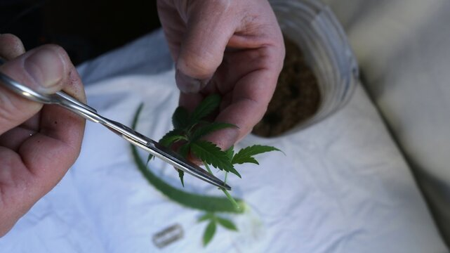 preparing a new clone of marijuana from a leaf cut from a bush, trimming the tips of a cannabis leaf with scissors over a white cloth surface with a container and blade in blurred focus