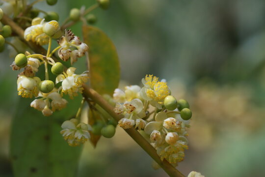 Litsea cubeba pers flower. essential oils with seeds  .Plant from nature Used as ingredients in cosmetics and medicine Food flavoring