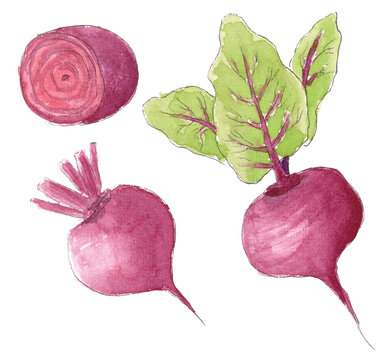 hand drawn watercolor sketch  beet with leaves