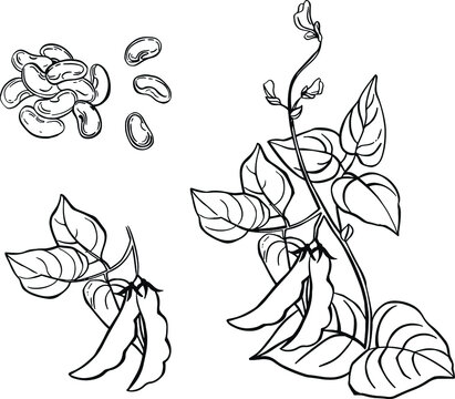 Vegetable, Illustration of Hand Drawn Sketch Commoni Bean Plants with Pods on White Background, Good Source of Dietary Fiber, Vitamins and Minerals.