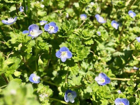 オオイヌフグリ 小さく可愛い青い花