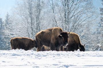 Fototapeta captive bisons in snow at the Bison Ranch in Les Prés d'Orvin, Swiss Jura