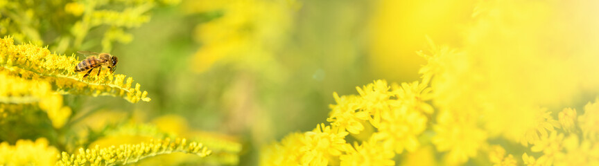 Bee and flower. Banner. Close up of a large  striped bee collecting pollen on a yellow flower Solidago (goldenrod common) on a Sunny bright day. Summer and spring backgrounds