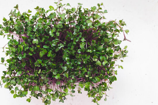 Purple Kohlrabi Micro Greens. Green superfoods. Seed germination at home. Top view